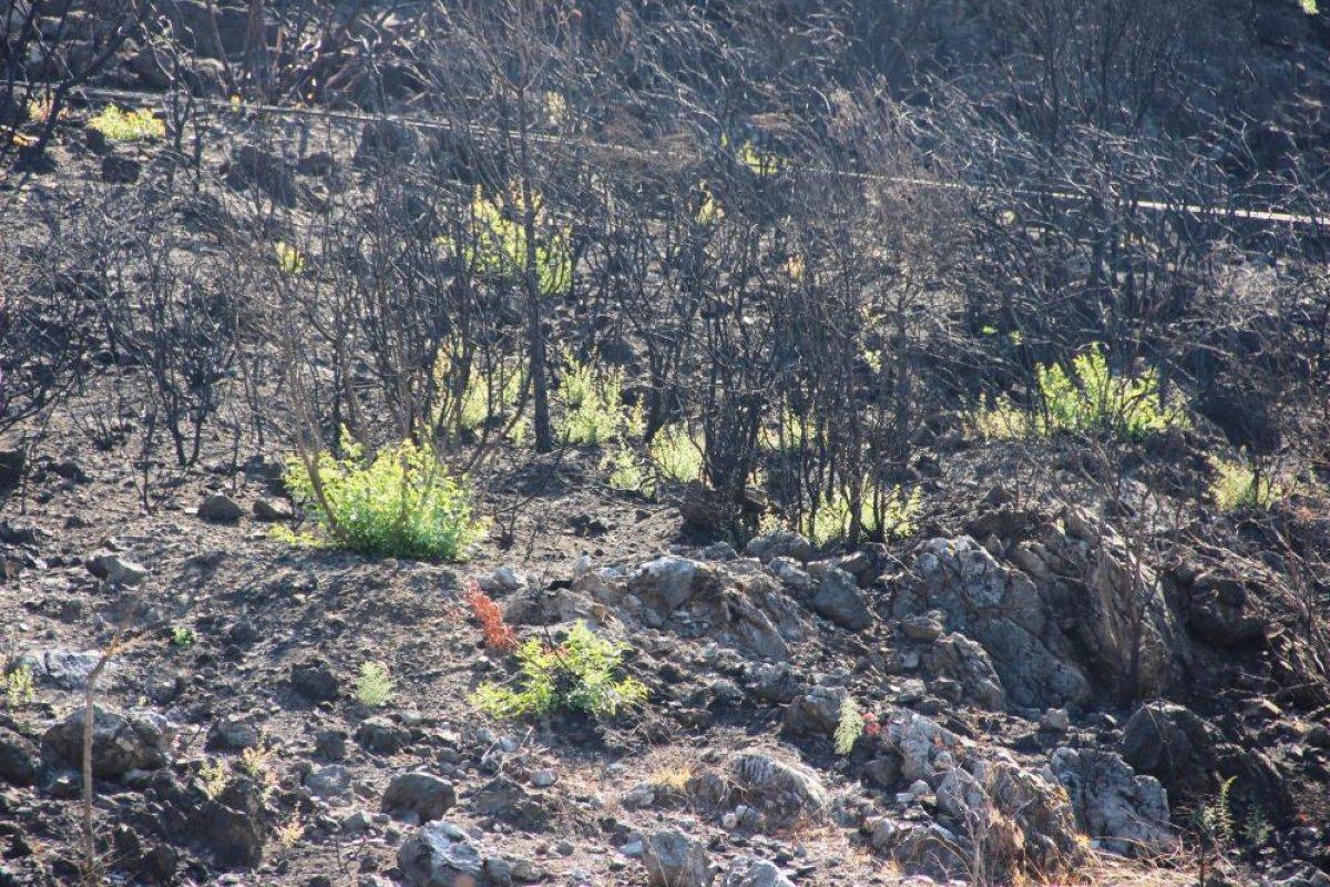 Bodrum'daki yangının ardından doğa kendini onarmaya başladı #3