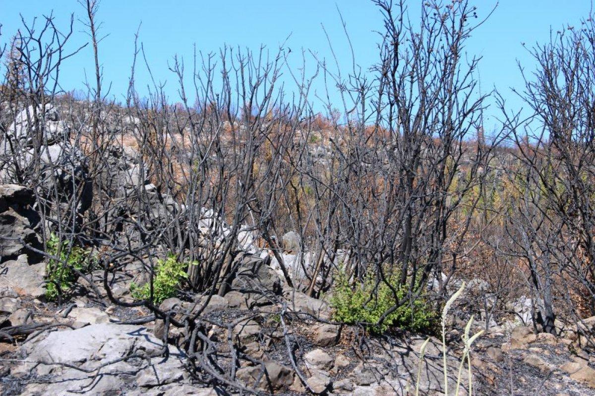 Bodrum'daki yangının ardından doğa kendini onarmaya başladı #5