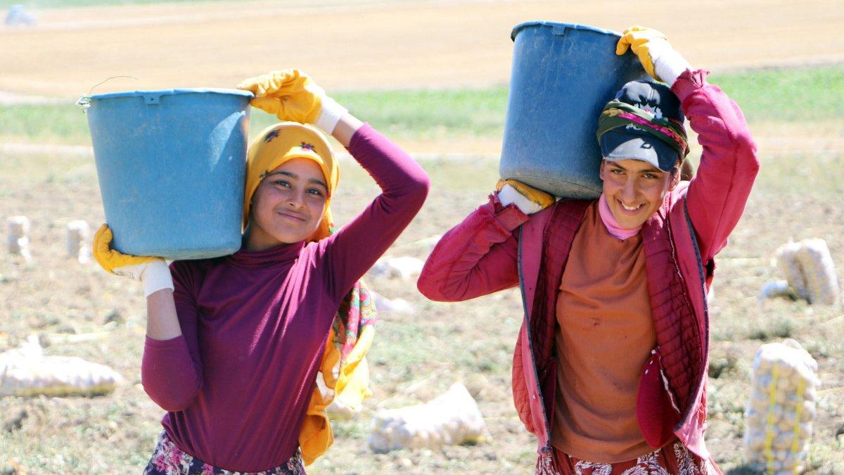 Okullar açıldı, Şanlıurfalı kız çocukları tarlaya gitti