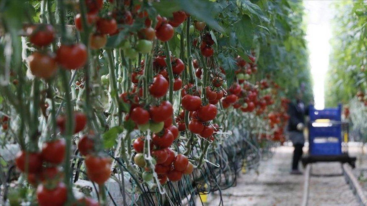Rusya'nın domates kotasını artırması ihracatçıları sevindirdi
